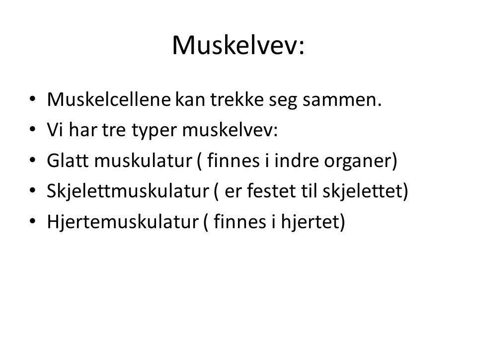 Muskelvev: Muskelcellene kan trekke seg sammen.