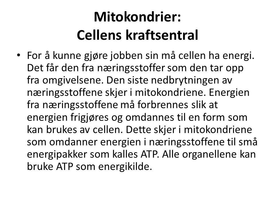 Mitokondrier: Cellens kraftsentral
