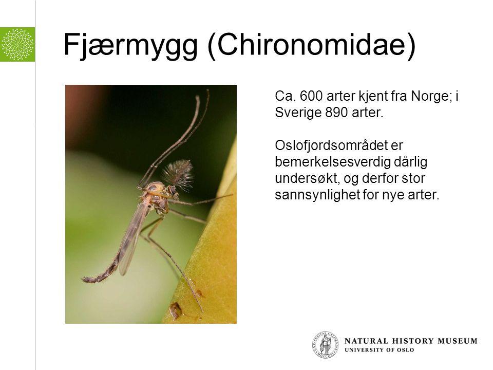 Fjærmygg (Chironomidae)