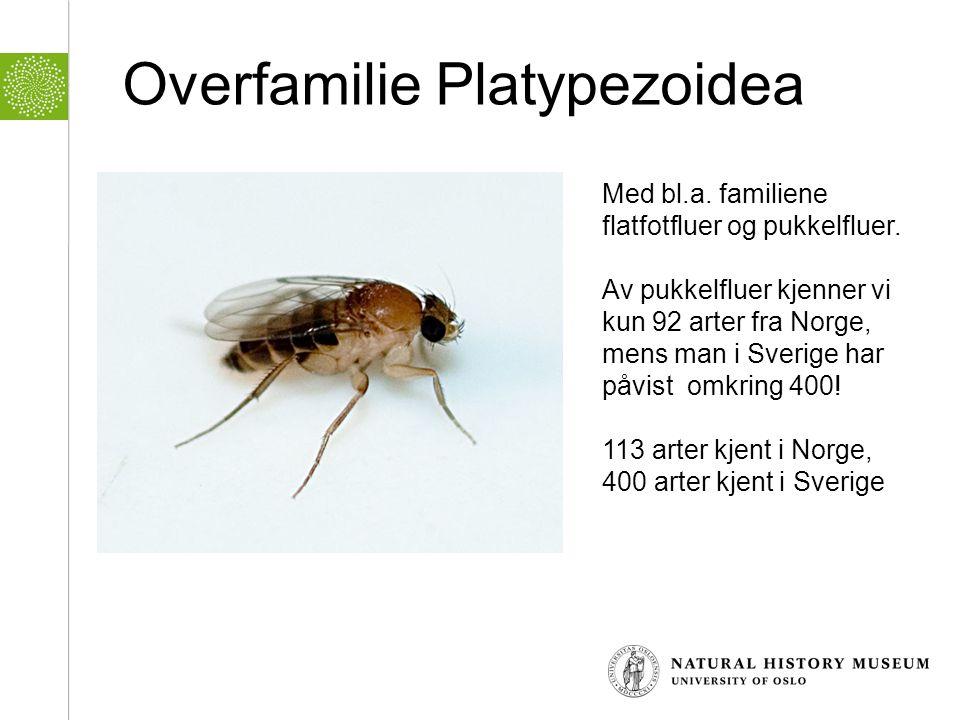 Overfamilie Platypezoidea