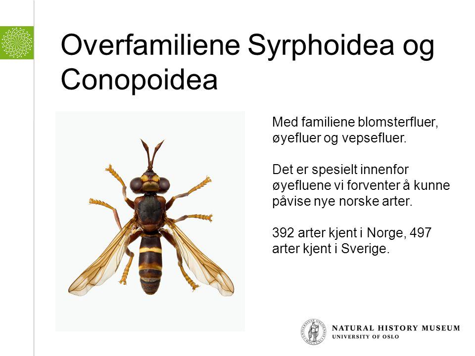 Overfamiliene Syrphoidea og Conopoidea