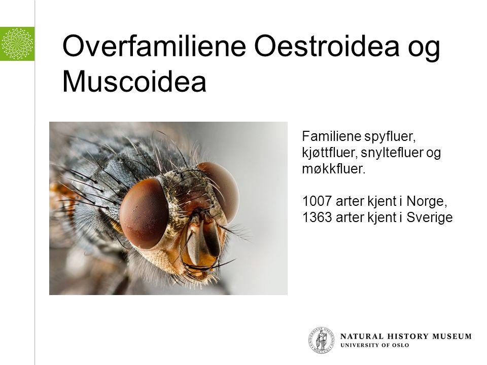 Overfamiliene Oestroidea og Muscoidea