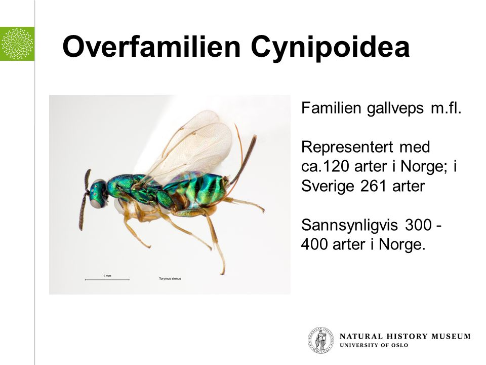 Overfamilien Cynipoidea