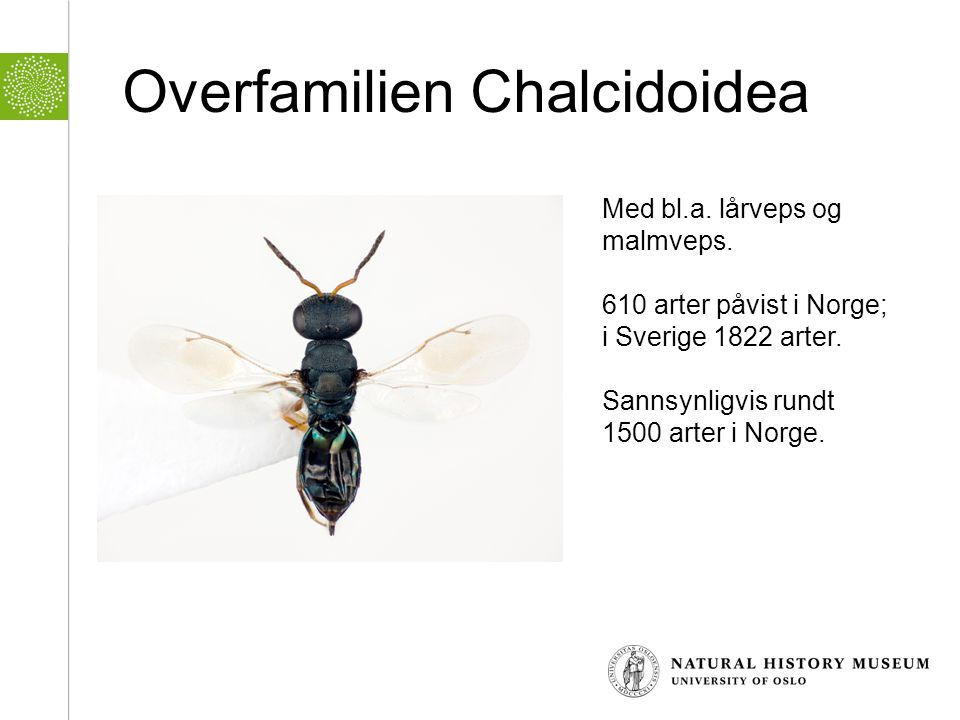 Overfamilien Chalcidoidea