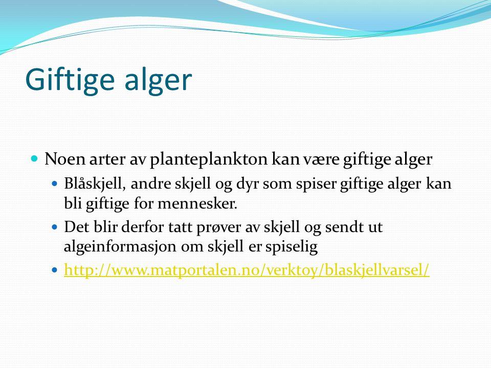 Giftige alger Noen arter av planteplankton kan være giftige alger