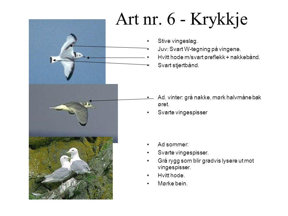 Art nr. 6 - Krykkje Stive vingeslag. Juv: Svart W-tegning på vingene.