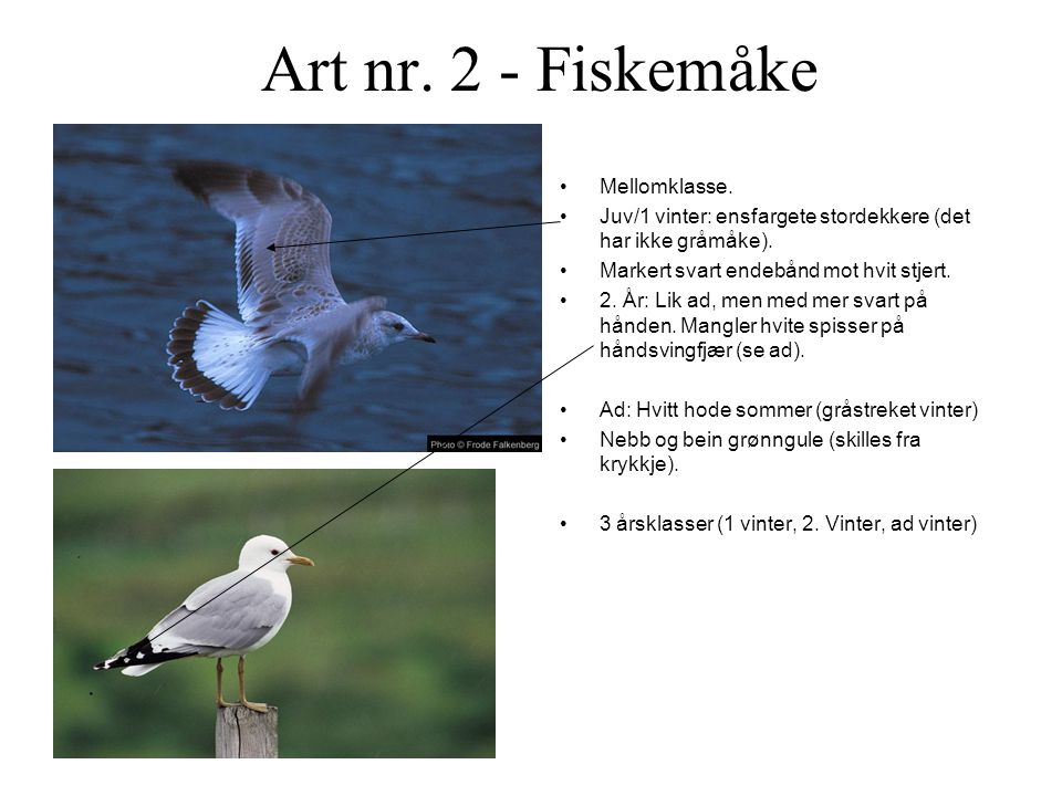Art nr. 2 - Fiskemåke Mellomklasse.