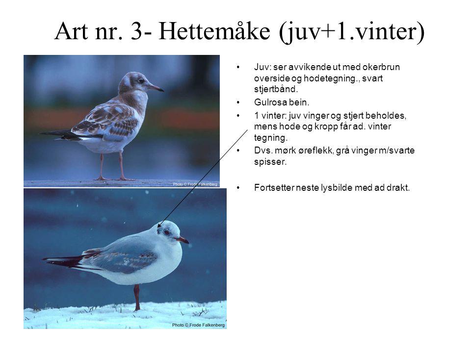 Art nr. 3- Hettemåke (juv+1.vinter)