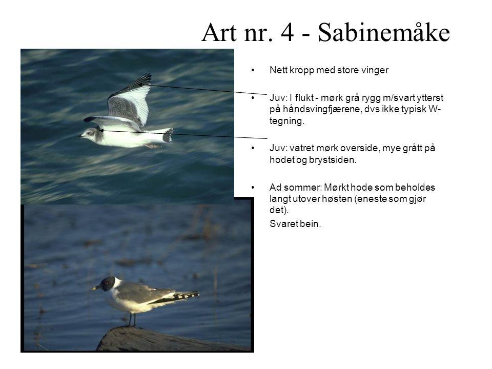 Art nr. 4 - Sabinemåke Nett kropp med store vinger