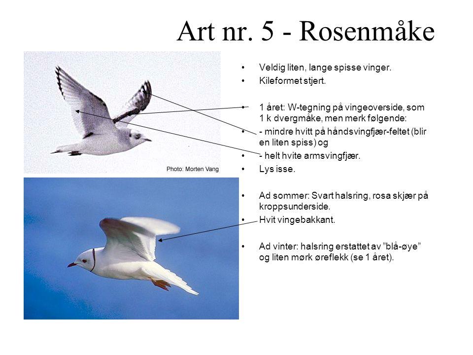 Art nr. 5 - Rosenmåke Veldig liten, lange spisse vinger.