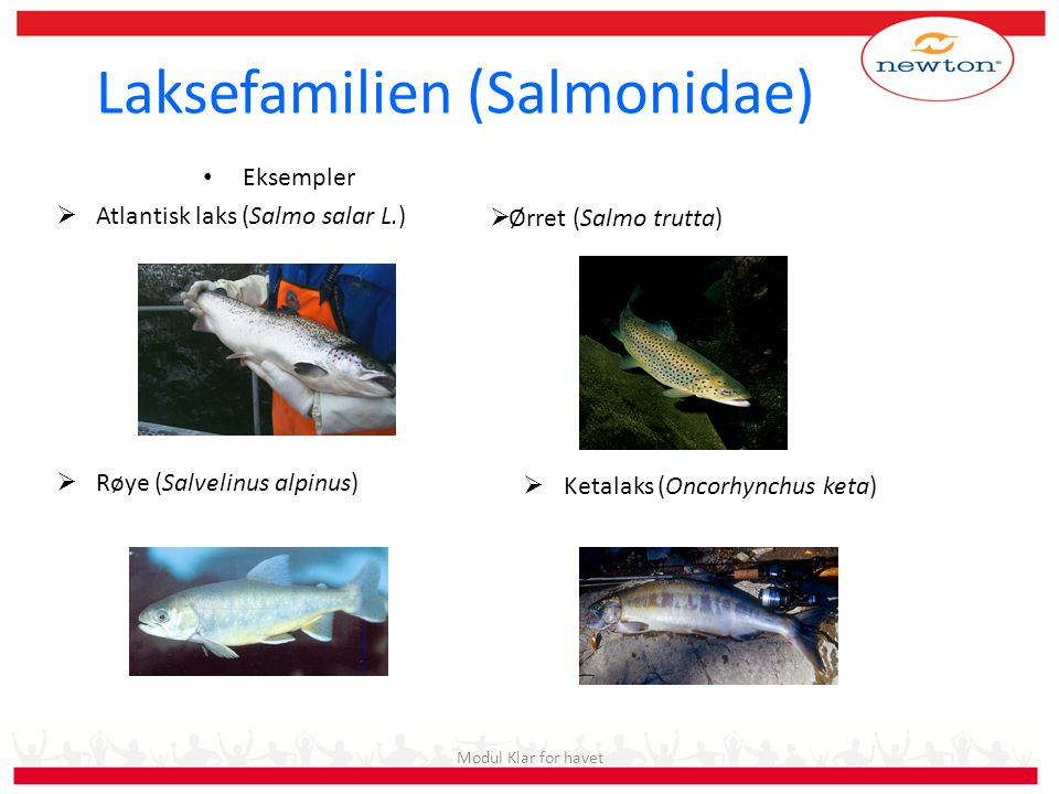 Laksefamilien (Salmonidae)