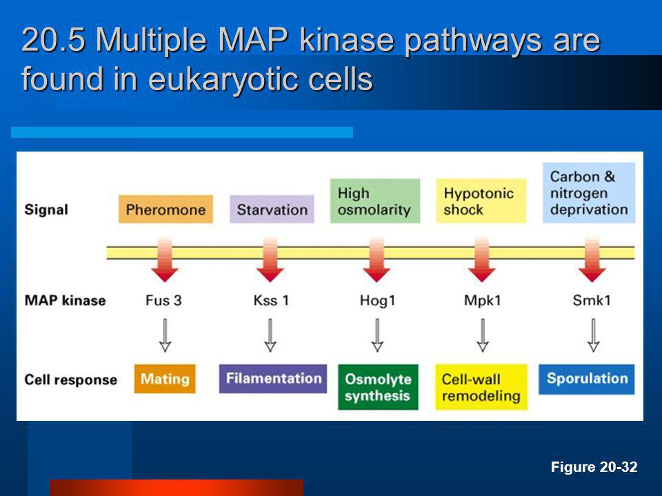 20.5 Multiple MAP kinase pathways are found in eukaryotic cells