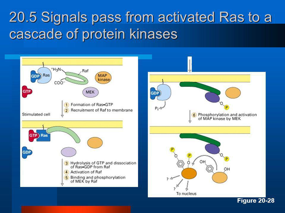 20.5 Signals pass from activated Ras to a cascade of protein kinases