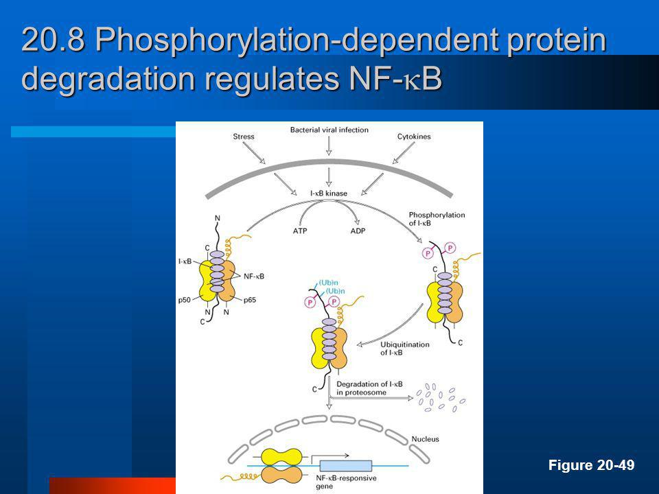 20.8 Phosphorylation-dependent protein degradation regulates NF-B