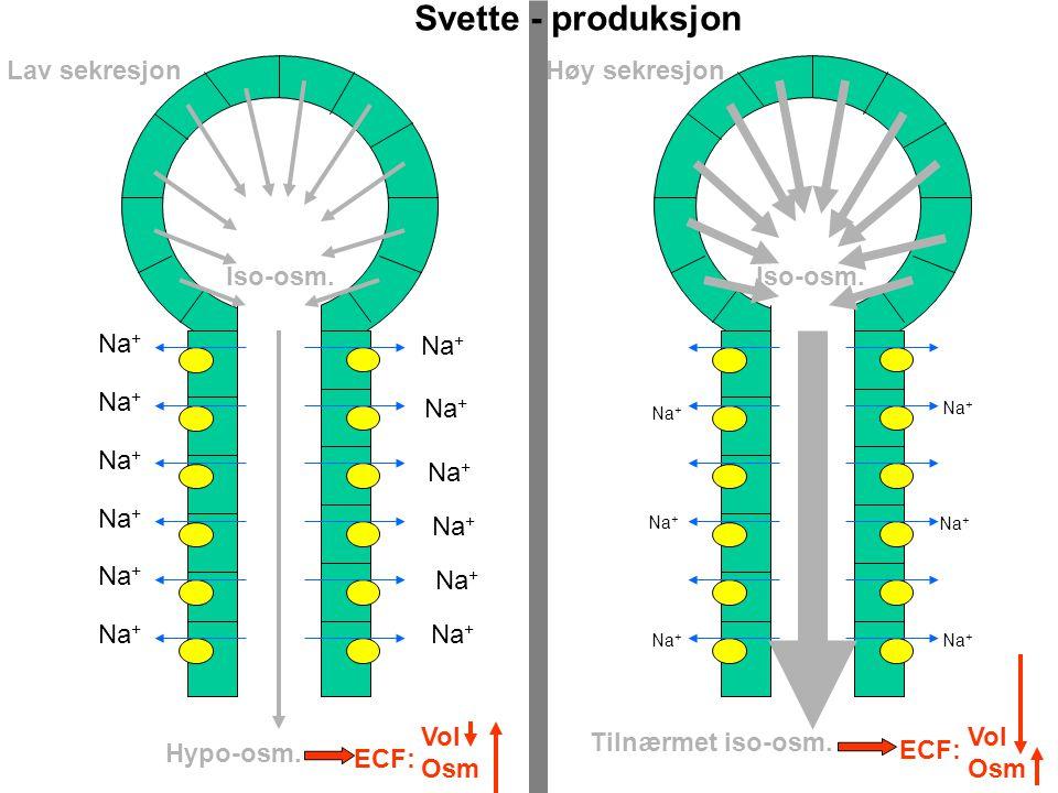 Svette - produksjon Lav sekresjon Høy sekresjon Iso-osm. Iso-osm. Na+