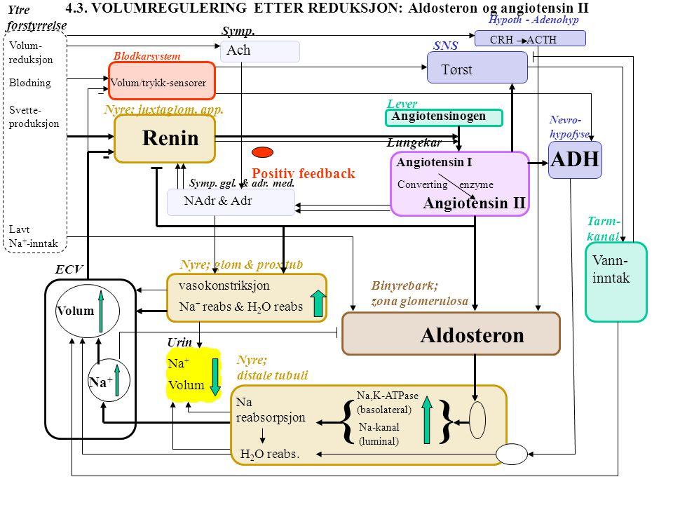 } { Renin ADH Aldosteron Angiotensin II