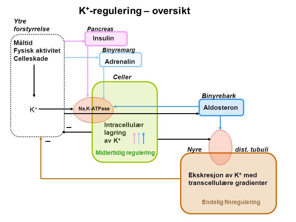 K+-regulering – oversikt