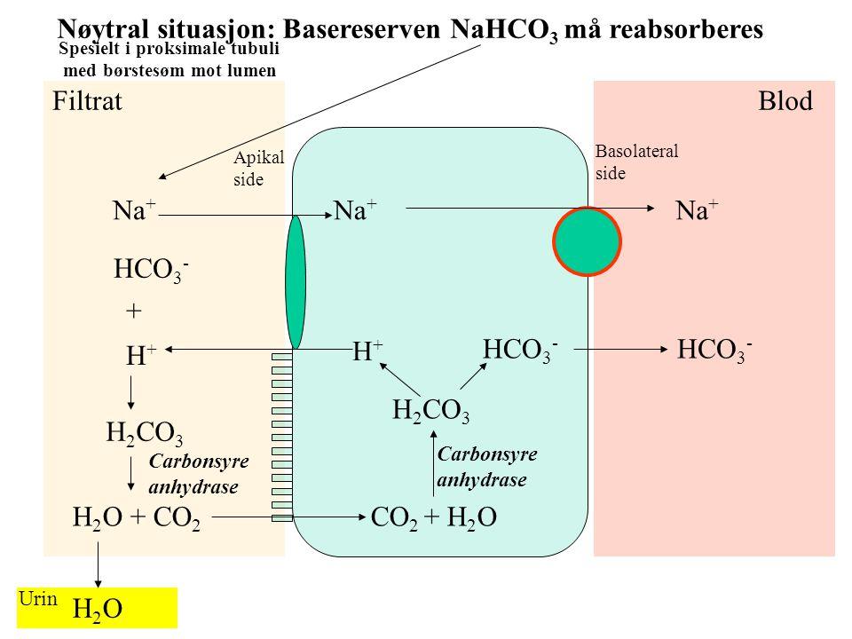 Nøytral situasjon: Basereserven NaHCO3 må reabsorberes