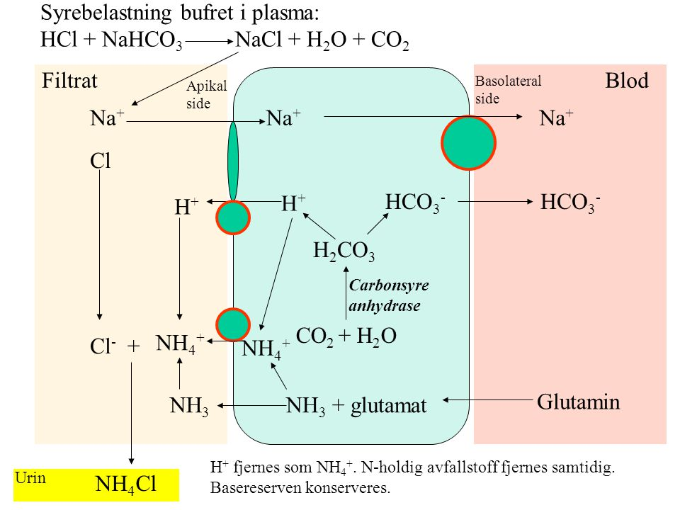 Syrebelastning bufret i plasma: HCl + NaHCO3 NaCl + H2O + CO2