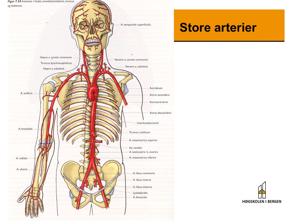Store arterier
