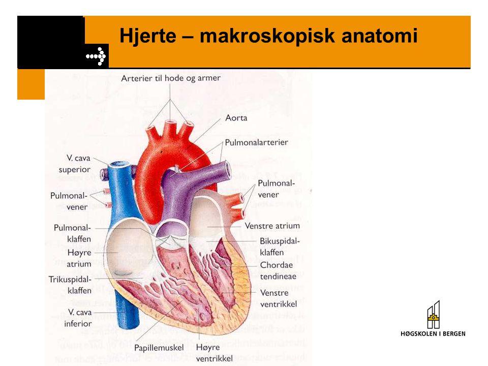 Hjerte – makroskopisk anatomi