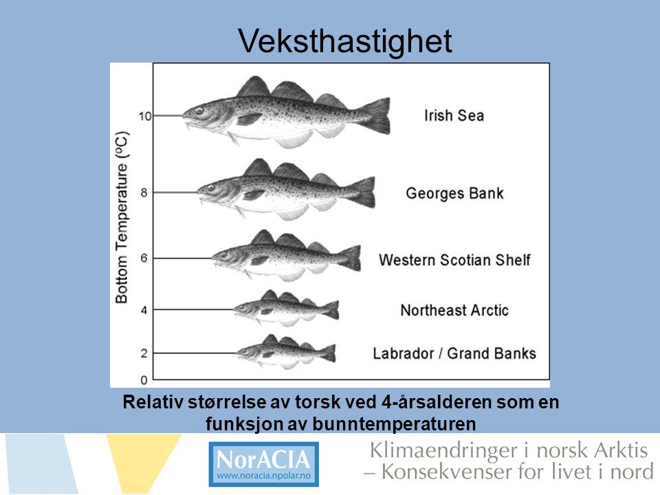 Veksthastighet Relativ størrelse av torsk ved 4-årsalderen som en funksjon av bunntemperaturen