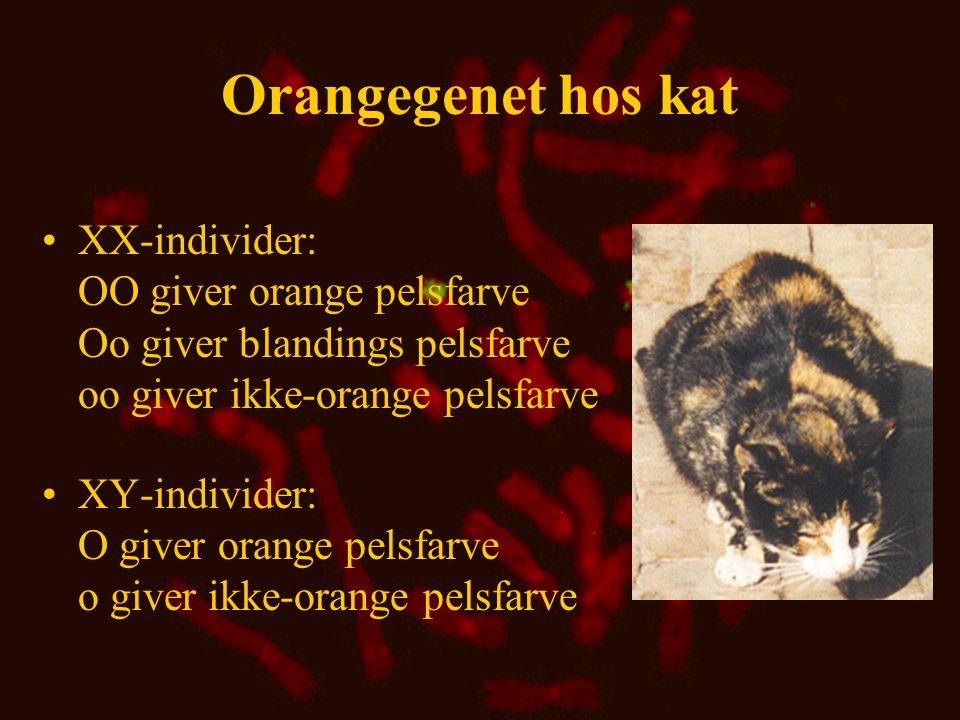 Orangegenet hos kat