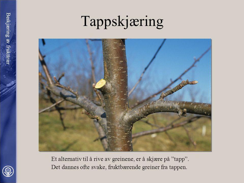 Tappskjæring Beskjæring av frukttrær. Et alternativ til å rive av greinene, er å skjære på tapp .