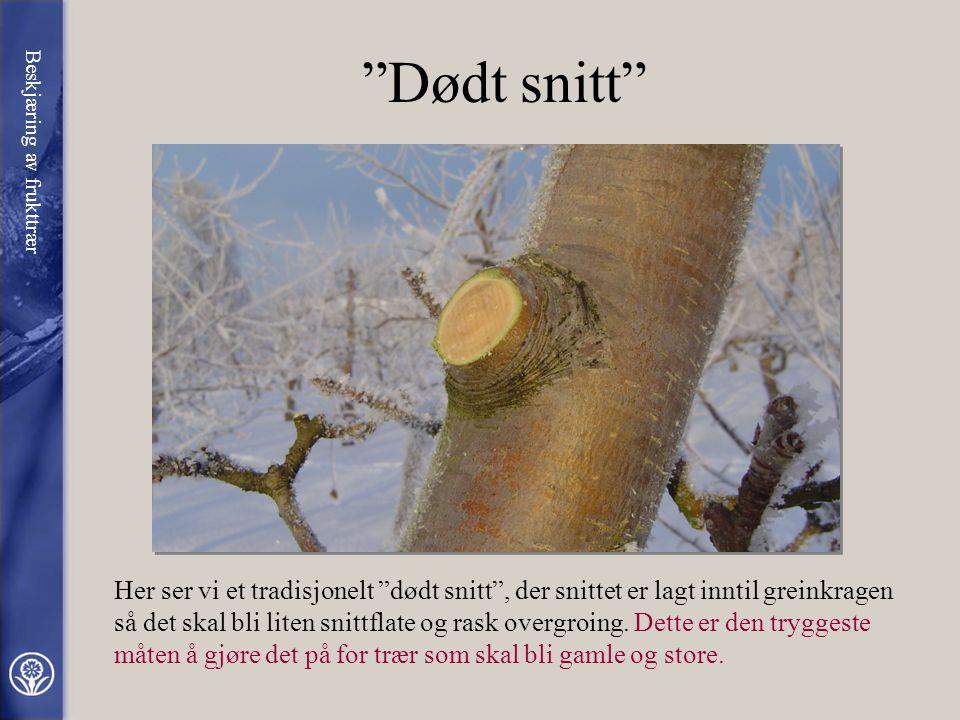 Dødt snitt Beskjæring av frukttrær.