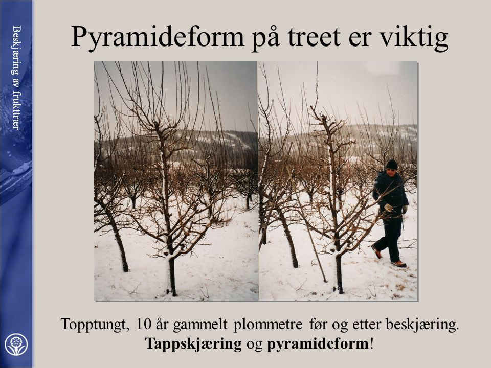 Pyramideform på treet er viktig