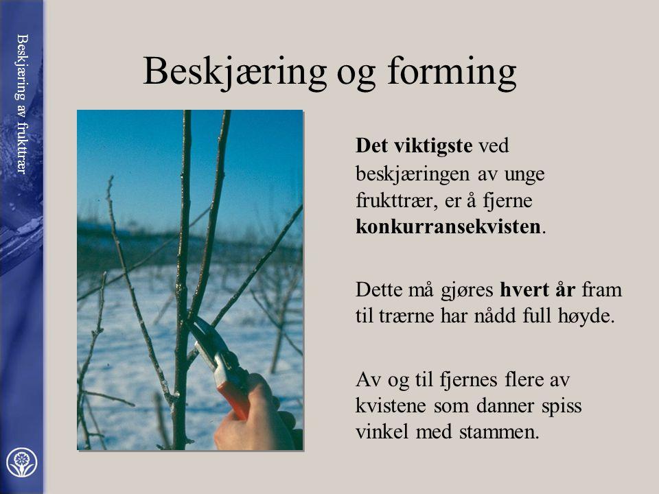 Beskjæring og forming Det viktigste ved beskjæringen av unge frukttrær, er å fjerne konkurransekvisten.