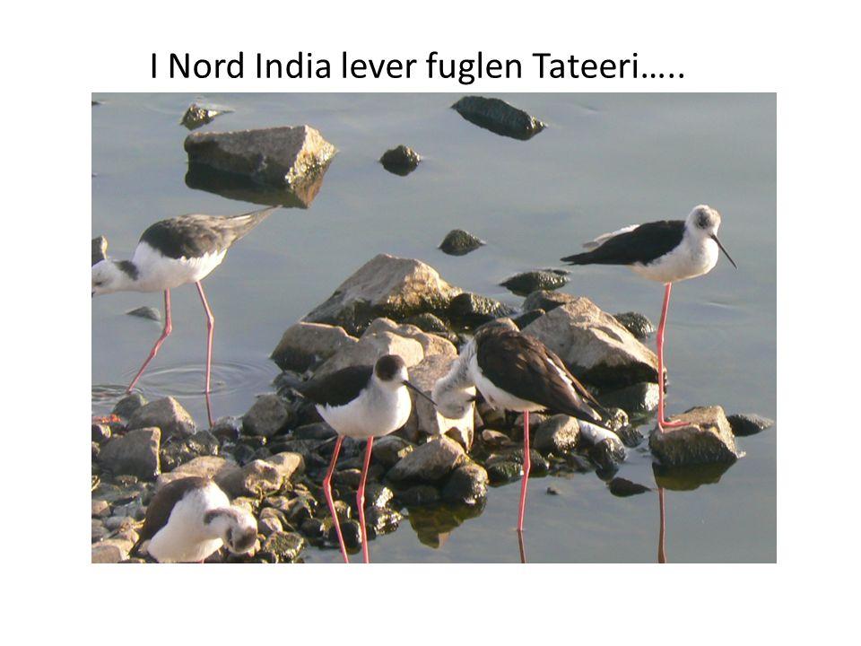 I Nord India lever fuglen Tateeri…..