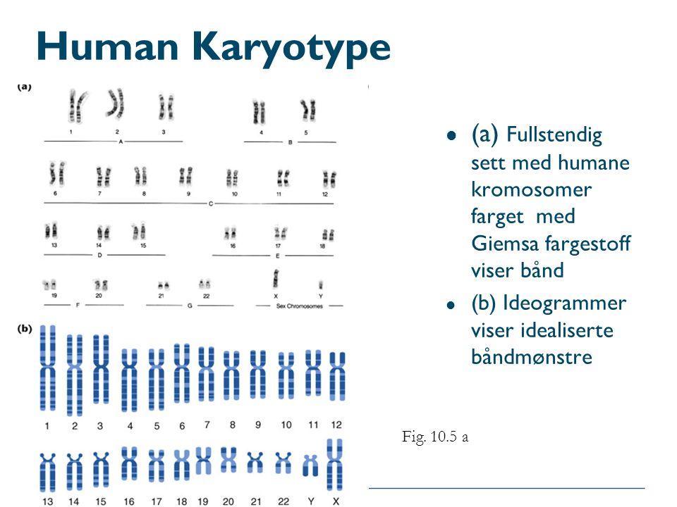Human Karyotype (a) Fullstendig sett med humane kromosomer farget med Giemsa fargestoff viser bånd.