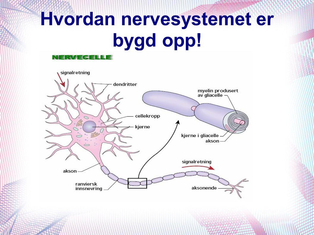 Hvordan nervesystemet er bygd opp!
