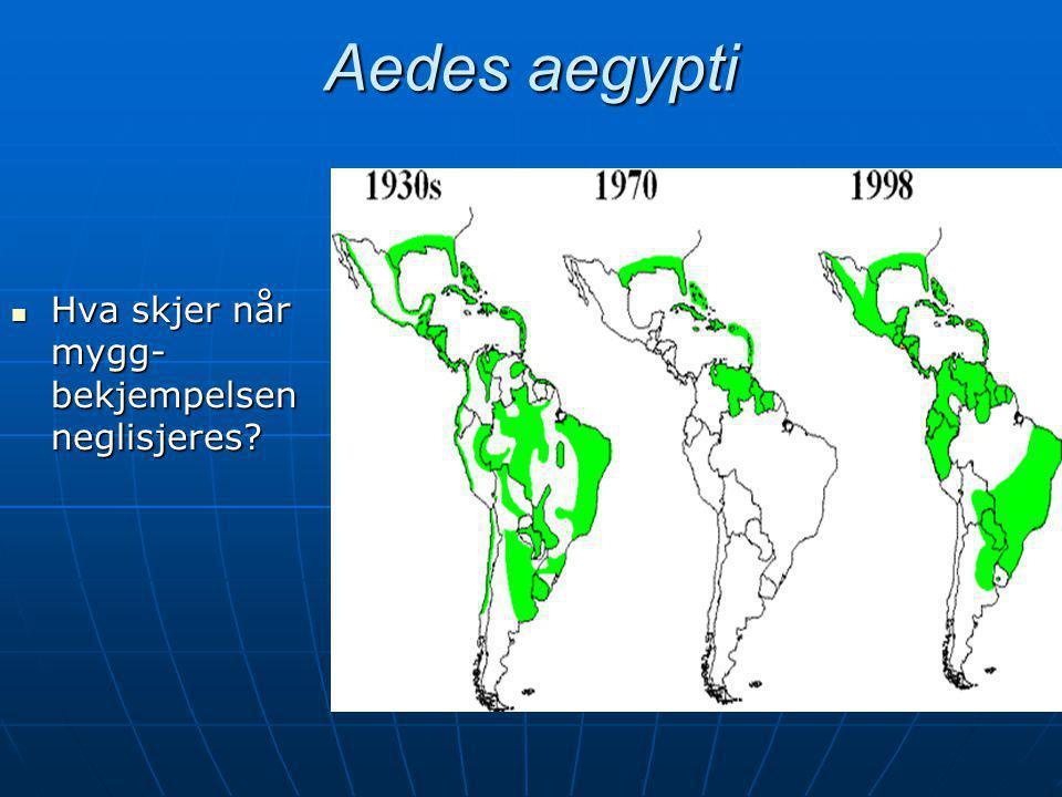 Aedes aegypti Hva skjer når mygg-bekjempelsen neglisjeres