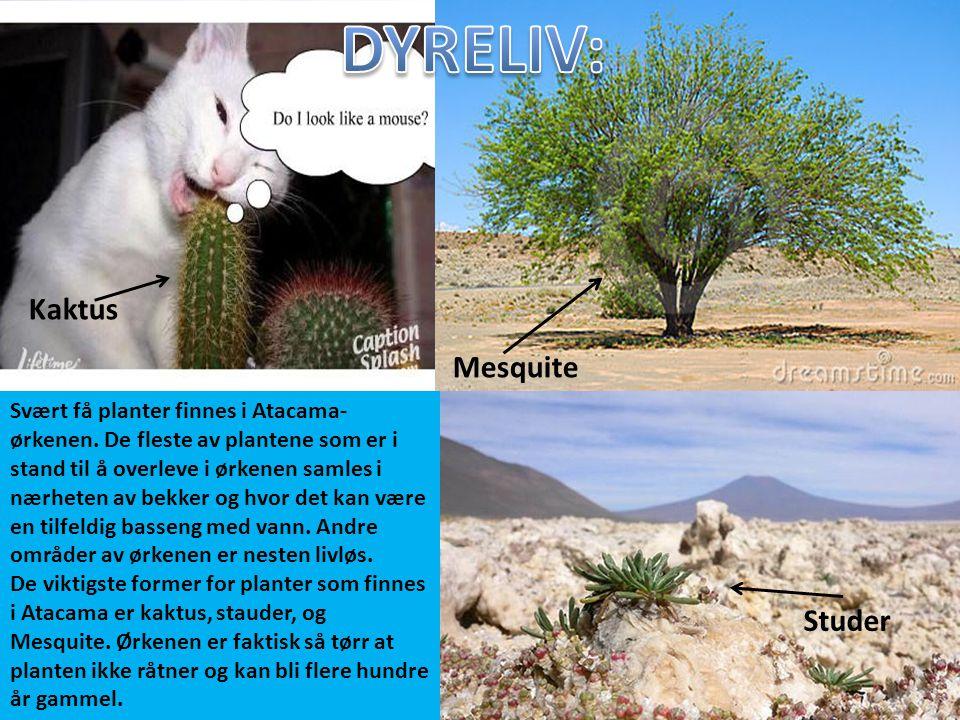 DYRELIV: Kaktus Mesquite Studer