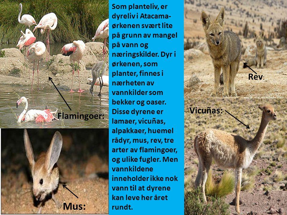 Mus: Rev: Vicuñas: Flamingoer: