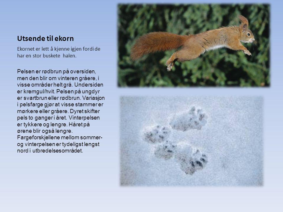 Utsende til ekorn Ekornet er lett å kjenne igjen fordi de har en stor buskete halen.