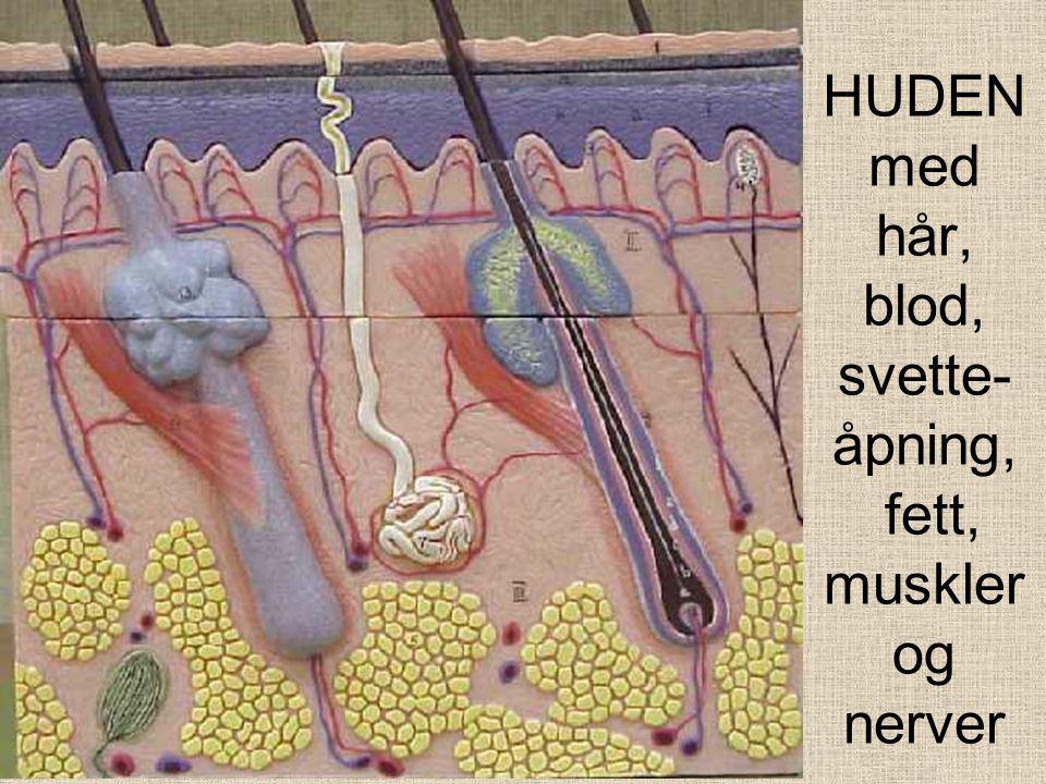 HUDENmed hår, blod, svette-åpning, fett, muskler og nerver