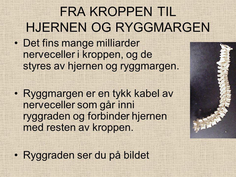 FRA KROPPEN TIL HJERNEN OG RYGGMARGEN