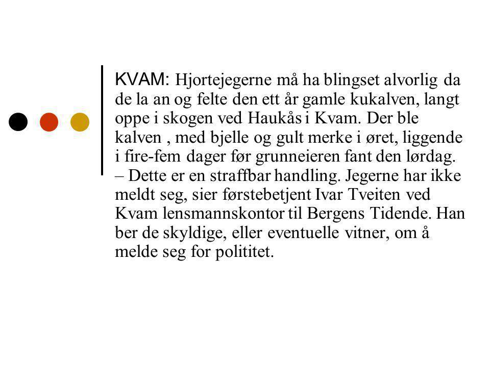 KVAM: Hjortejegerne må ha blingset alvorlig da de la an og felte den ett år gamle kukalven, langt oppe i skogen ved Haukås i Kvam.