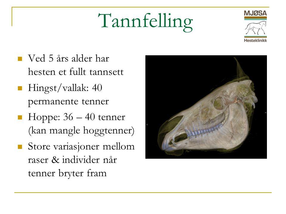 Tannfelling Ved 5 års alder har hesten et fullt tannsett