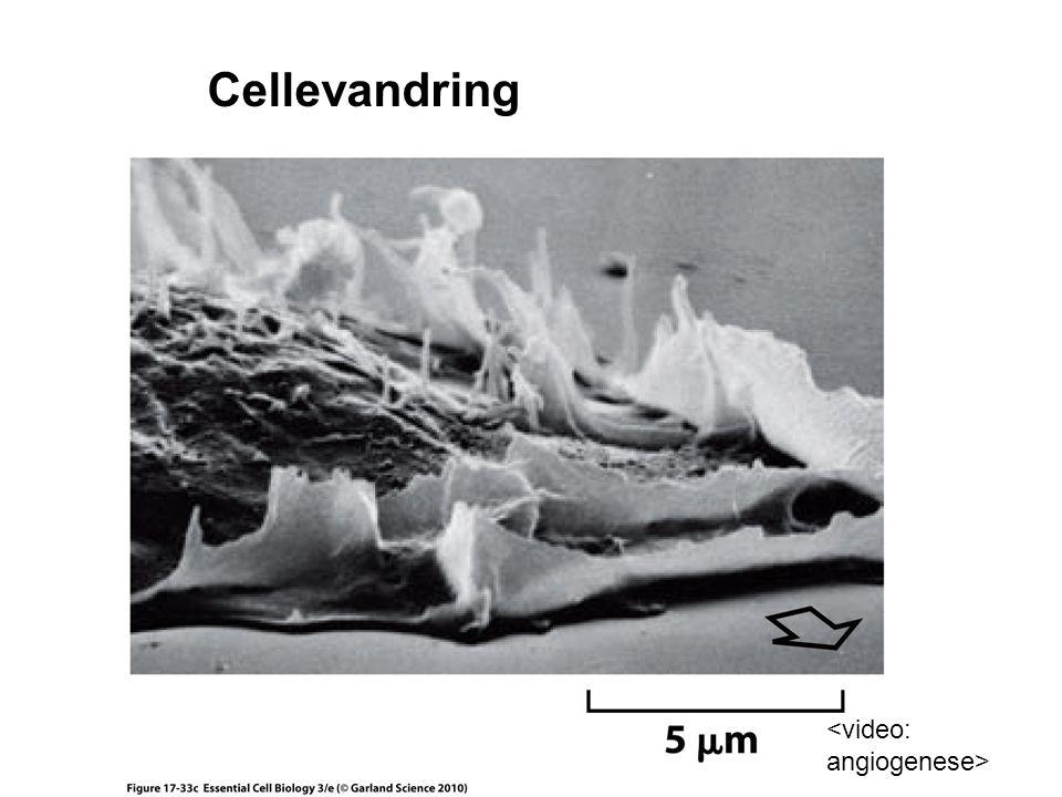 Cellevandring <video: angiogenese>