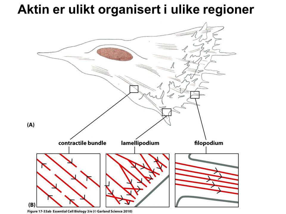 Aktin er ulikt organisert i ulike regioner