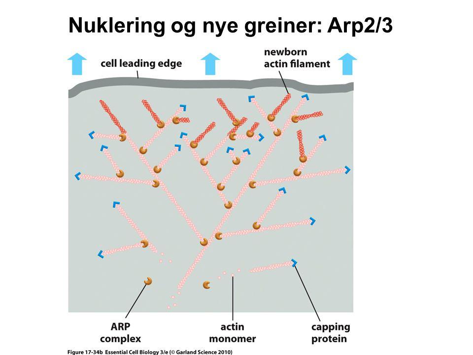 Nuklering og nye greiner: Arp2/3