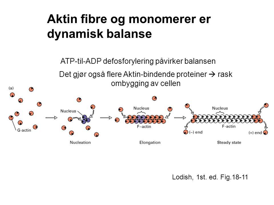 ATP-til-ADP defosforylering påvirker balansen
