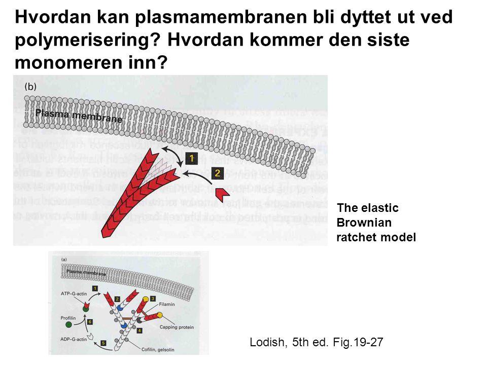 Hvordan kan plasmamembranen bli dyttet ut ved polymerisering