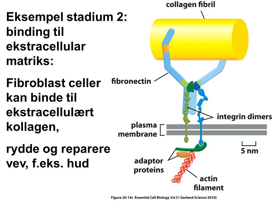 Eksempel stadium 2: binding til ekstracellular matriks:
