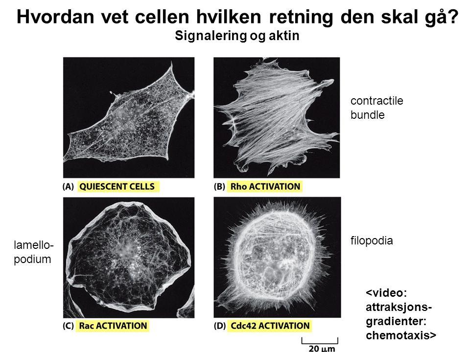 Hvordan vet cellen hvilken retning den skal gå Signalering og aktin