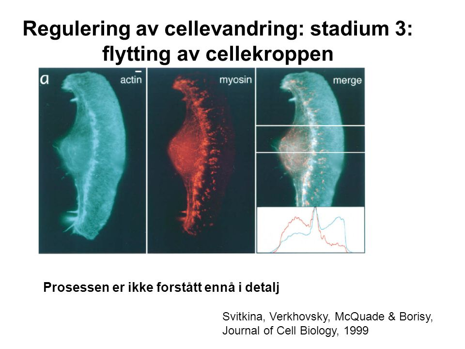 Regulering av cellevandring: stadium 3: flytting av cellekroppen